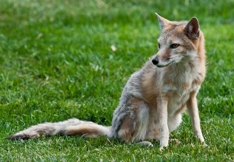 """""""Yazzie"""" The Swift Fox"""