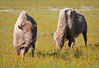 Where the Buffalo roam...or in this case, White Bison: Arizona Highways Magazine Friday Fotos Blog featured photo, 2012