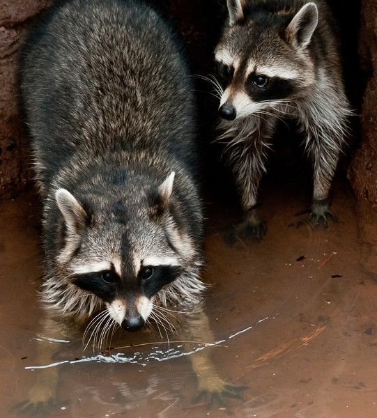"""Raccoons, """"Trip and Cooney"""""""
