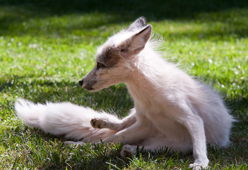 """""""Francis"""" A beautiful Marbled Red Fox, White in color, is roomies with """"Yazzie"""" the Swift Fox"""