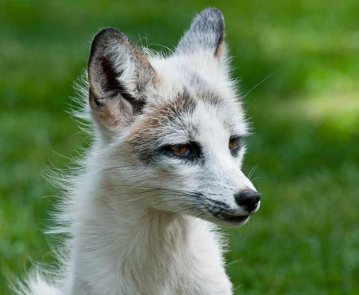 Francis, the Marbled Red Fox, white in color.