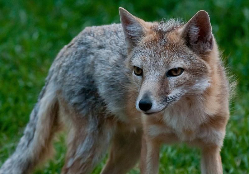 """Yazzie"" A Swift Fox"