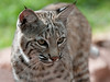 "Arizona Bobcat ""Remy or Sig"""