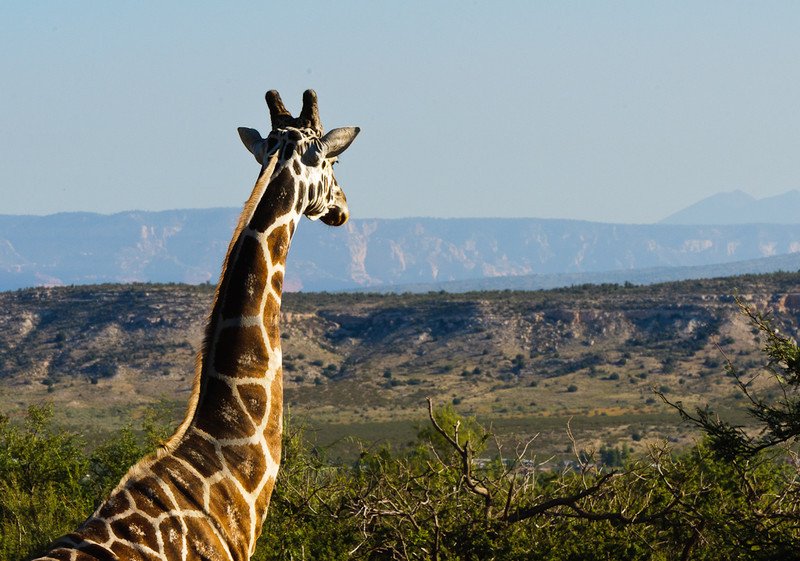 """Room to roam and with a view for this """"Out of Africa"""" Giraffe, at Camp Verde, AZ"""