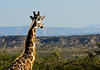 "Room to roam and with a view for this ""Out of Africa"" Giraffe, at Camp Verde, AZ"
