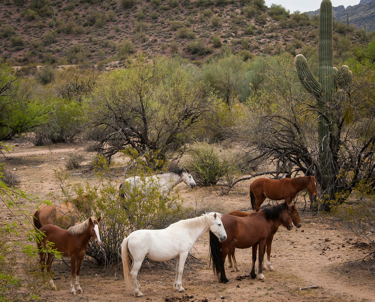 Wild Horses of the Salt River & Desert Burros
