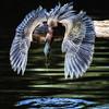 Shazaam!! The Green Heron Strikes Again!!