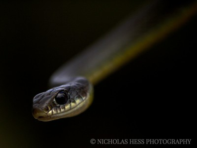 Yellow Bellied Racer, Coluber constrictor mormon