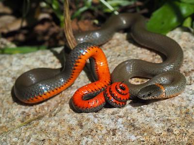 Ringnecked Snake, Diadophis punctatus