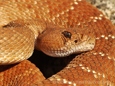 Red Diamond Rattlesnake, Crotalus ruber