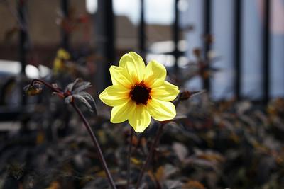 St George's Hospital - Yellow Dahlia