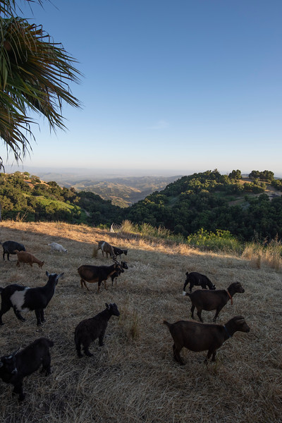more goats on  sulphur mountain