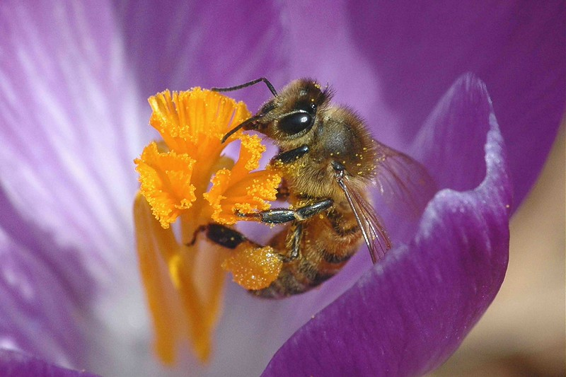 "<a href=""/Insects/Bees-wasps-hornets-flies/"">A honey bee sips from a purple crocus in early spring.</a>"