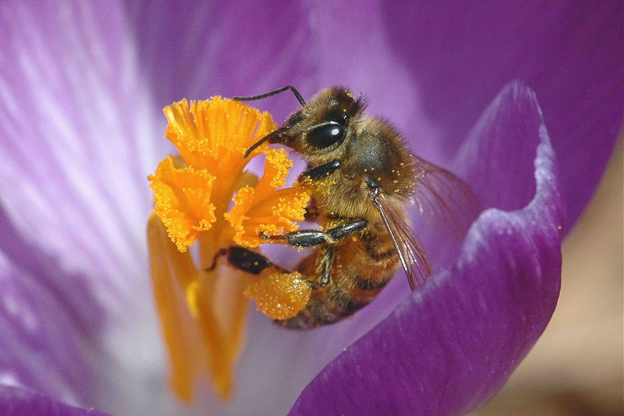 A honey bee sips from a purple crocus in early spring.  (See INSECTS > BEES gallery)