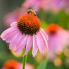 Honeybee Evening