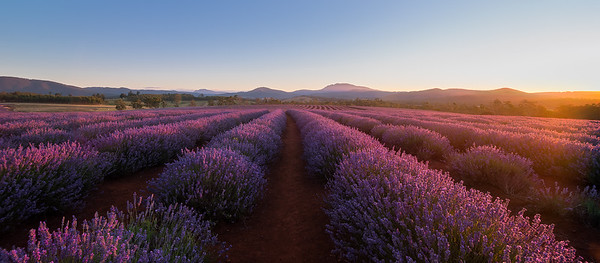 Bridestowe Lavender Sunset 1