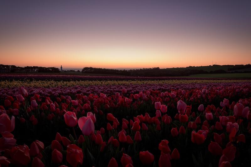 Table Cape Tulips - 1