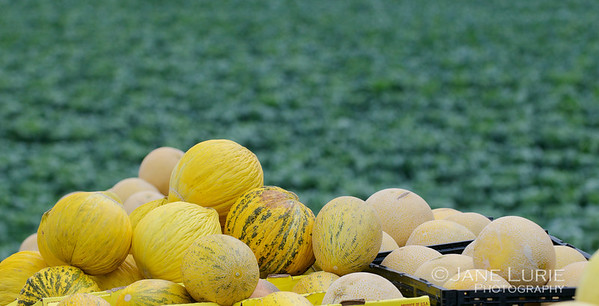Melons and Field, Castroville, CA