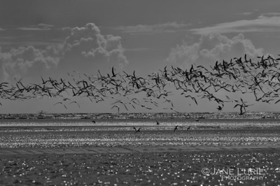 Black Skimmers in Flight, Black and White