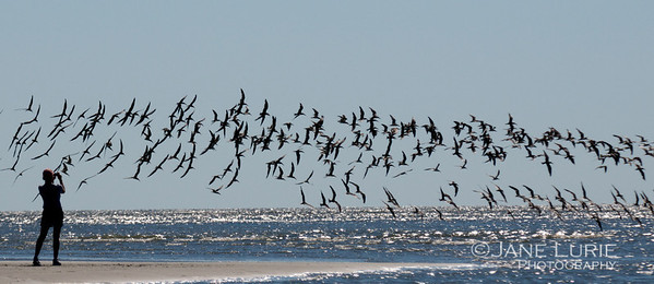 A lucky capture of skimmers in flight.