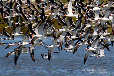 Caught in the action! Black Skimmers flying by.