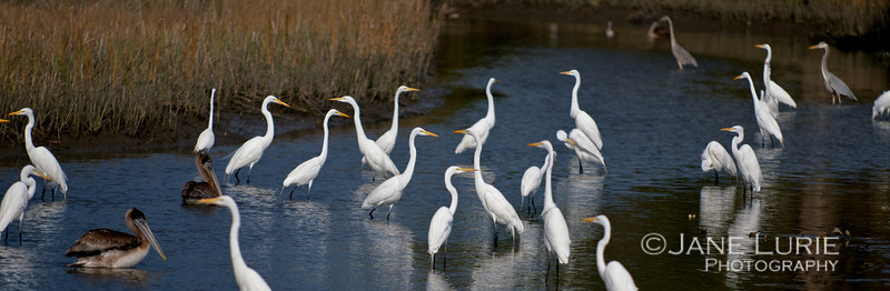 Egrets and Pelicans happily co-existing.