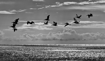 Pelicans and Clouds, South Carolina