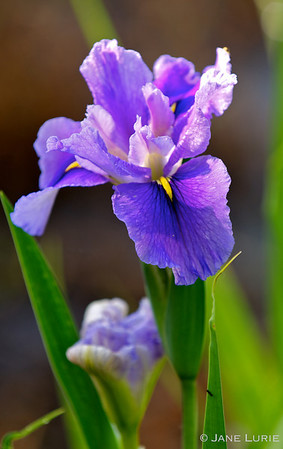 Fully Bloomed and Almost Bloomed. Purple Iris in the Sun.