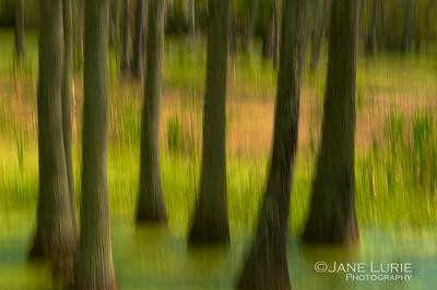 Swamp and Tupelos