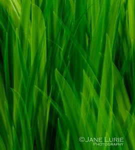 Leaves of Iris