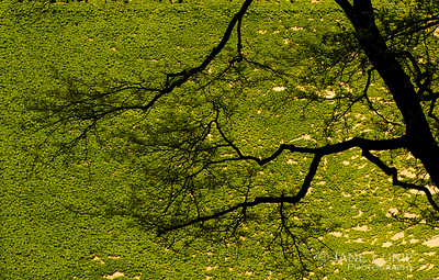 Tree and Ivy, Chicago
