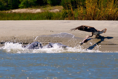 Everyone gets in the act- the pelican stretching his neck and beak as close to the action as possible as the dolphin drive the fish ashore.
