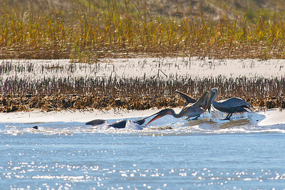 The pelican tries to snatch the fish from the dolphin's mouth!