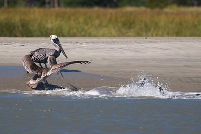 Pelicans stand watch as the dolphin flops up onto the beach