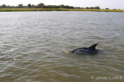 Mother and baby calf showing their love and interdependence. Kiawah River, SC.