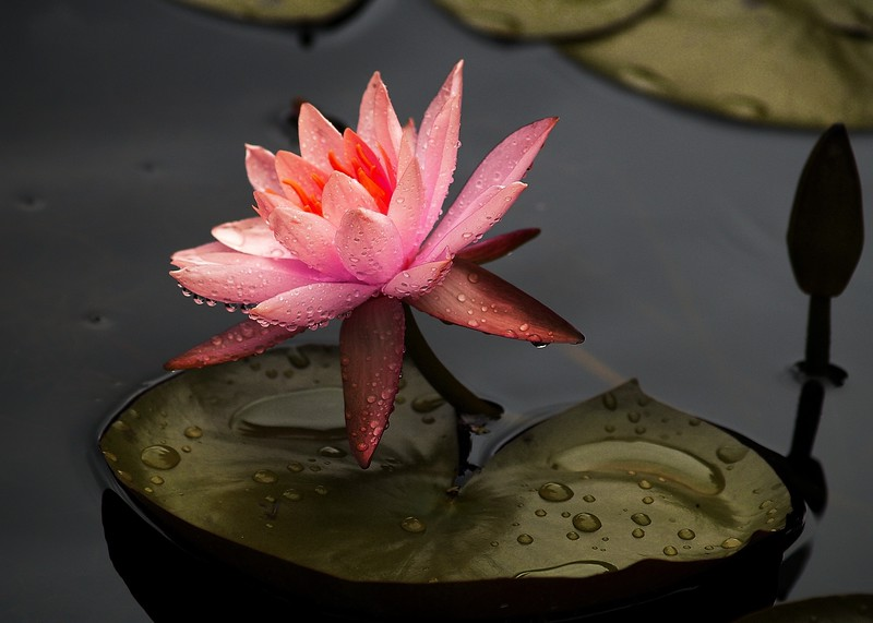 Water Lily in the Rain