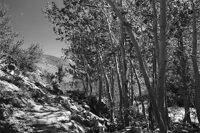 Isolated stands of aspen provide some shade along South Fork Big Pine Creek