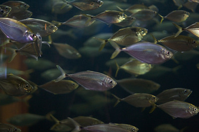 Schooling Fish at the SC Aquarium