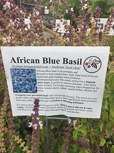 """Ocimum kilimandscharicum x basilcum 'Dark Opal' """"African Blue Basil"""""""
