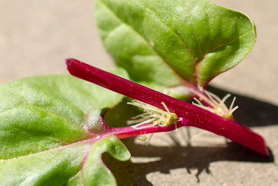 "Spinacea oleraces -""Red Kitten"""