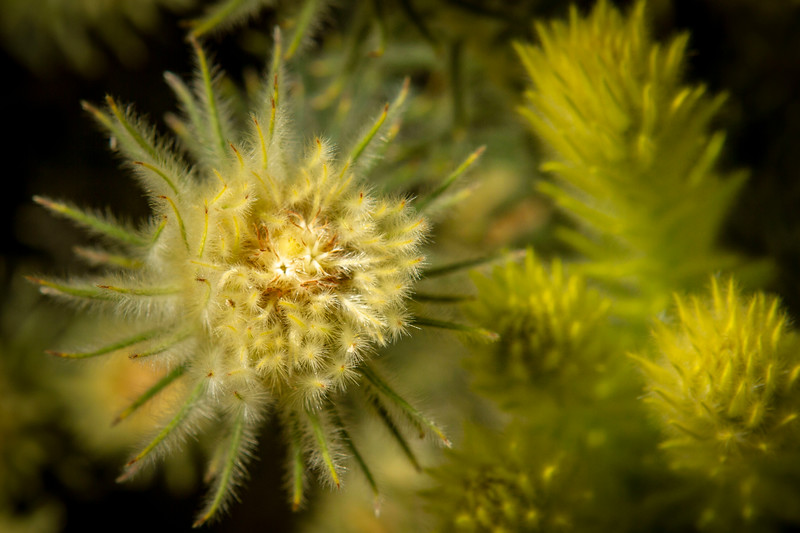 Phylica pubescens (Featherhead)