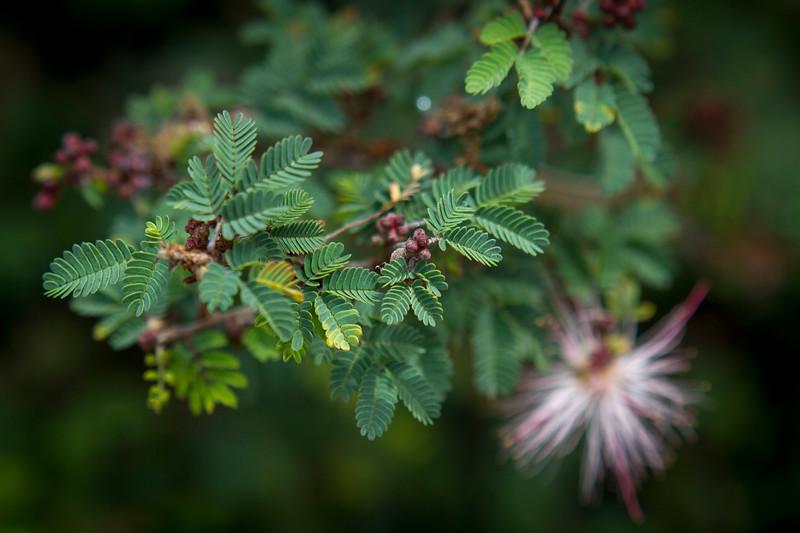 Calliandra eriophylla Fairy Duster.