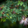 Calliandra eriophylla Fairy Duster.
