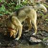 Lobo digging