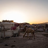 A baby camel at a settlement on the eastern outskirts of Herat city, Afghanistan, where recently arrived IDPs are living.<br /> <br /> Herat, May 2017<br /> <br /> NRC/Jim Huylebroek