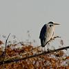 Gray heron sentinel