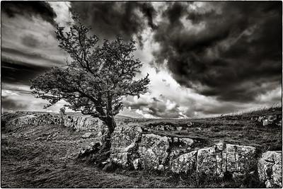 Yorkshire Tree B&W