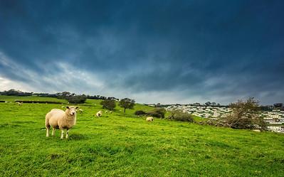 Sheep, reflecting human habitations