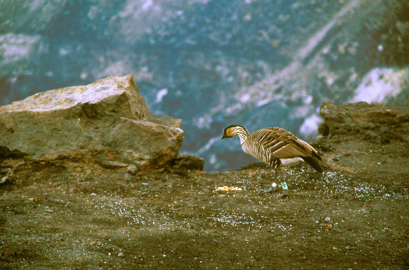 Hawaii state bird, the nene goose at edge of Halemaumau caldera at Kilauea volcano