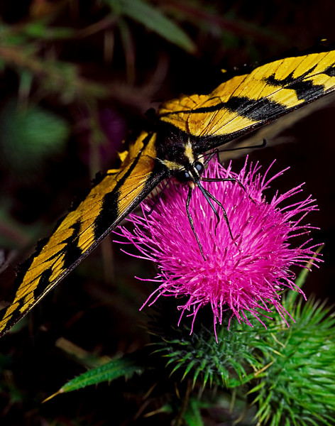Tiger Swallowtail Buttlerfly